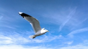 seagull-animal-wallpaper-693